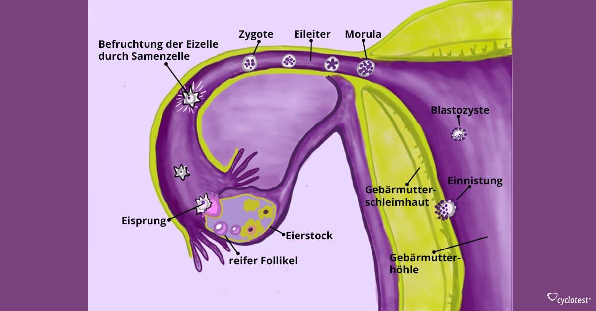 Einnistung der Eizelle – endlich schwanger? | cyclotest.de